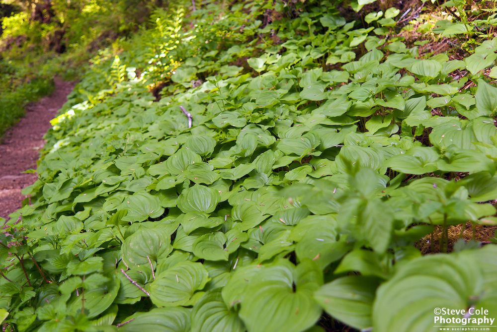 False Lily Carpet - Boulder River Wilderness