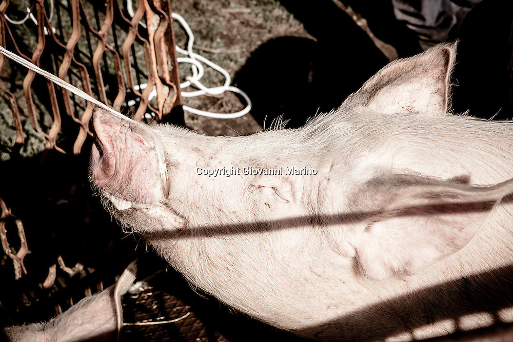 "Basilicata/Italy -  The killing of the pig is an ancient tradition that still takes place in many homes and farms of the south Italy. Italian law prohibits this practice and the animals should be slaughtered in special slaughterhouses after careful veterinary checks. Some families slaughter the pigs in the home illegally. On the morning of slaughter, involving relatives and neighbors or friends for a twofold purpose: first of all because at the time of the killing are powerful arms that have prevailed on the strength of the animal, and also because with them we must make a good party. After removing the pig from the swineherd, he is tied by the legs and raised. The butcher plunges the knife into ravine, severing the jugular, it provides the escape of blood, which is readily collected in a tank. This blood is stirred vigorously with a wooden spoon to prevent clotting, then serve in the preparation of the ""sanguinaccio"". At the death of pig all the ties are loose and starts the phase of skinning using knife and hot water. Then begins the phase split and clean the inside of the beast. The butcher plunges the knife cutting into the skin and forming a straight line from top to bottom on the back for the separation of two bricks. Are removed the guts of the small intestine, large intestine, and other innards of the pig that will be used for a useful purpose."
