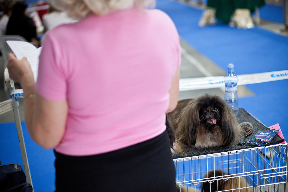 A dog is watching his owner during the Prague Expo Dog Exhibition.