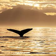 North Pacific humpback whale (Megaptera novaeangliae kuzira) fluke in the warm light of a late summer evening in Alaska