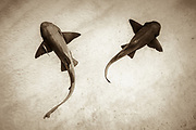 Bahamas, Bimini. Two nurse sharks swimming near a sandy bottom as seen from above.