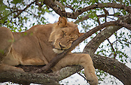 A young lion sleeps with its face pressed against a branch in a tree in the Serengeti National Park. The park is a UNESCO World Heritage Site in Tanzania. http://www.gettyimages.com/detail/photo/lion-sleeping-in-tree-with-scrunched-face-royalty-free-image/182986725