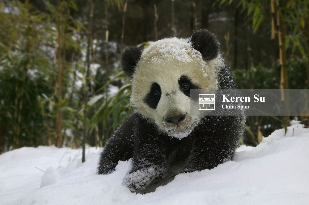 5-month-old Giant panda cub on snow, Wolong Panda Reserve, Sichuan Province, China