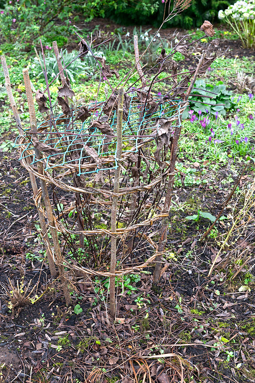 Hazel and willow plant support for a Clematis