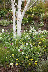 Fritillaria meleagris, Erythronium californicum 'White Beauty' and Ranunculus 'Brazen Hussy' growing with hellebores and daffodils in John Massey's dell garden. White trunk of Betula utilis var. jacquemontii - silver birch