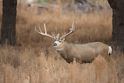Trophy mule deer buck during the autumn rut