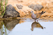 Turtle Dove (Streptopelia turtur) in a water pool in the desert, negev, Israel