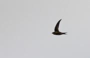 Migrating swift, Apus apus, soaring in the sky in Gloucestershire, UK