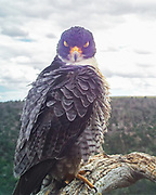 Peregrine falcon pauses from preening her feathers, with eyes briefly closed, giving her a diabolical appearance when she is actually just contented. © 2015 David A. Ponton [photo by motion-activated camera mounted on the dead tree that is a favorite perch on the canyon rim. The low-resolution camera limits repro. size, prints to 8x10, 16x20 in. with no cropping.]