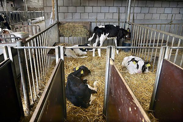 Nederland, Groesbeek, 30-5-2014Open boerderijdag bij een melkveebedrijf. Belangstellenden, vooral gezinnen met kinderen, kunnen kijken in de stal bij de drachtige koeien, kalveren,kalfjes, kalven en stieren. Er kan melk en yoghurt geproefd worden en er zijn speeltoestellen.Foto: Flip Franssen/Hollandse Hoogte