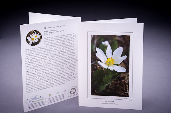 The Bloodroot is rich in history including early and modern medicinal uses; learn why is this native early blooming wildflower is considered &quot;at risk&quot; in NH. <br /> <br /> Artemis Photo Greeting Cards featuring NH native flora and fauna and historic sites. The cards are made exclusively in NH made from 100% FSC recycled paper, manufactured with wind and water power, and are archival acid free paper. Each card includes details on the back about the image, including interesting anecdotes, historic facts, conservation status, and recipes.