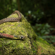 Red-necked Keelback (Rhabdophis subminiatus) in Kaeng Krachan national park, Thailand