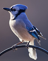 Blue Jay. Image taken with a Nikon D5 Camera and 600 mm f/4 VR lens (ISO 560, 600 mm, f/4, 1/640 sec)