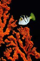 Mimic filefish, Sangalaki, Kalimantan, Indonesia.