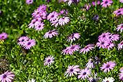 flowering garden. Blooming purple Gerbera flowers