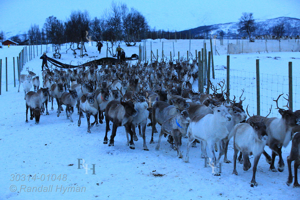 Herders force reindeer to run along fence toward corral in preparation for move to highlands from coastal lowlands where they were stranded by early autumn snows; Tromso, Norway.