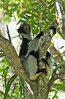 Indri (Indri indri) , Analamazaotra Special Reserve , Andasibe Mantadia National Park , Madagascar Image by Andres Morya