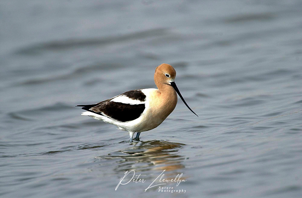 American Avocet (Recurvirostra americana) in Slough at junction of Sheppard road and 22x near Calgary, Alberta, Canada   Photo: Peter Llewellyn