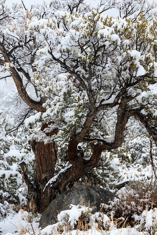 Montane chaparral vegetation such as xerophytic shrubs and snow covered singeleaf pinyon, (Pinus monophylla), can survive the seasonal droughts that occur on the flanks of Sierra Nevada at heights of 5-700 feet. Below the eastern flank of the Sierra Nevada.