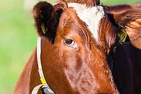 Norway, klepp. Closeup of cow, Sele.