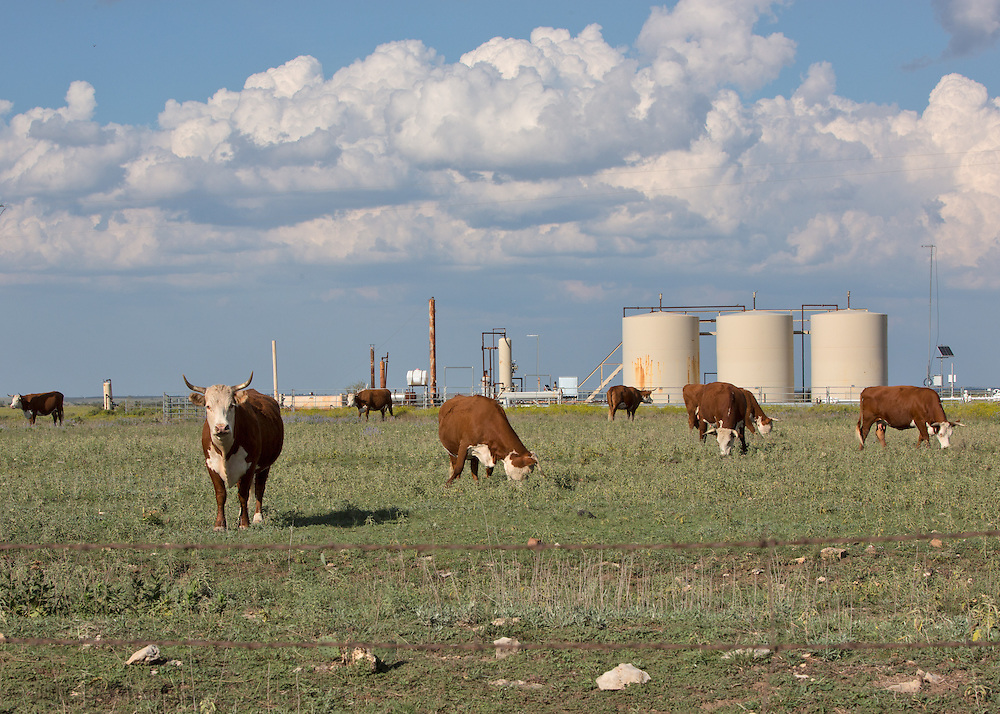 Cattle at a Energy Transfer Company site, part of the fracking industry,  in Hood County.