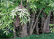 Honey Bee Swarm starting to leave for a new location in a field near Postlip, Gloucestershire