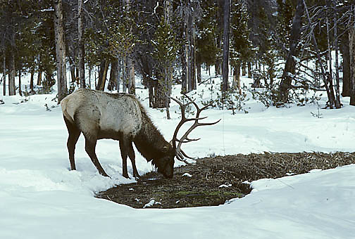 Elk, (Cervus elaphus) bull feeds on bark of lodgpole pine. Winter.