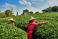 Guangxi, China - September 30, 2014 :woman harvesting tea  between Guilin and Yangshuo in Guangxi province  China