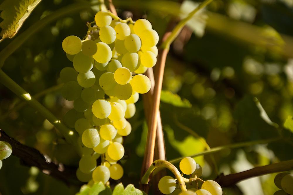 Vineyard, Hood River, Oregon