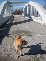 John North's Golden Lab at the Bush Creek Marsh Arch Rainbow Bridge on Old Route 66 Riverton, KS. Out investigating the 100 year flood that came in the day before and held flooding conditions this day.