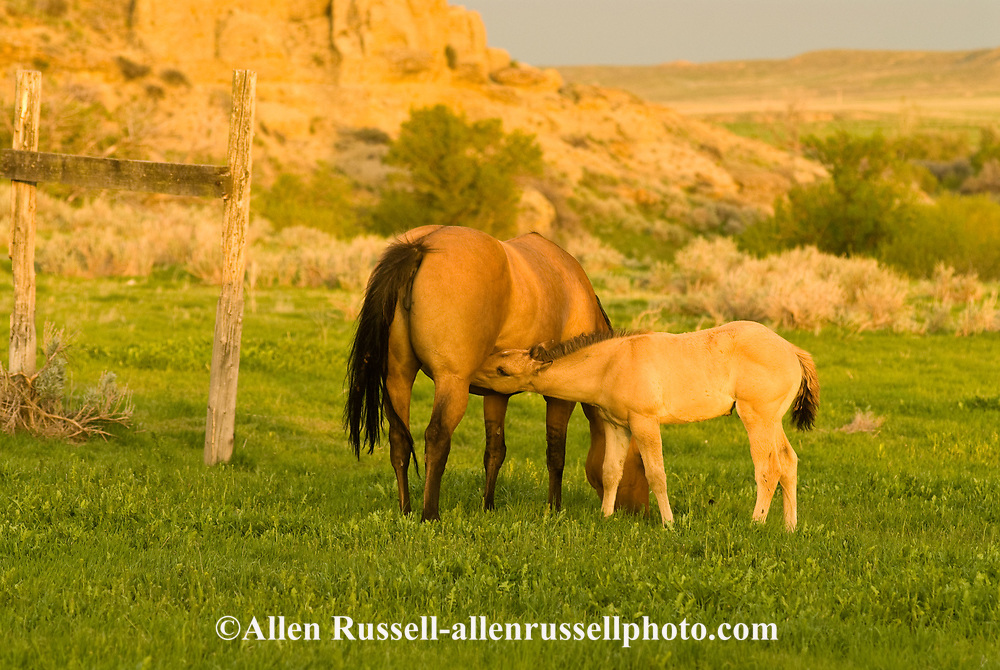 Quarter Horses, Dun mare and foal