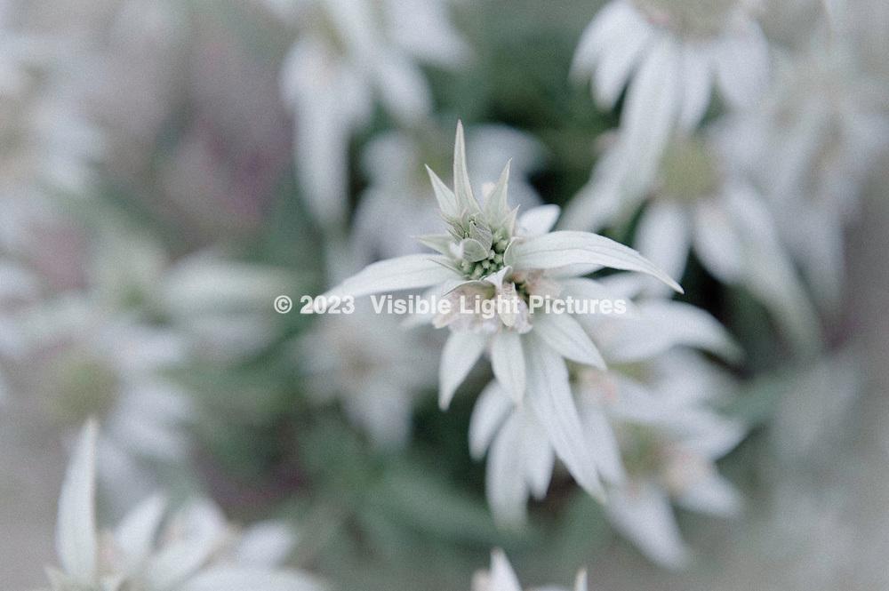 Garden wildflower