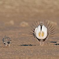 agressive sage grouse  lek breeding colors, breeding plumage, females