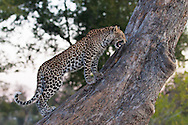 A young male leopard growls to protect its baboon kill from an approaching hyenna, Okavango Delta, Botswana