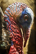 Taxidermy turkey on display at the Fairbanks Museum & Planetarium in St. Johnsbury, Vermont.