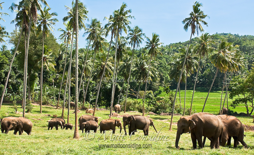 Elephants grazing amongst palm trees.<br /> (Photo by Matt Considine - Images of Asia Collection)