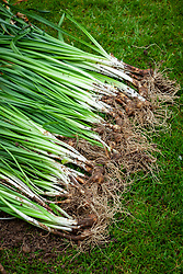 Dividing congested clumps of daffodil bulbs after they have finished flowering. Separated bulbs laid out ready to replant