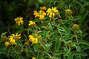 Yellow Chrysanthemum bush