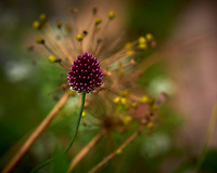 Red Allium Flower. Image taken with a Nikon D850 camera and 105 mm f/2.8 VR macro lens