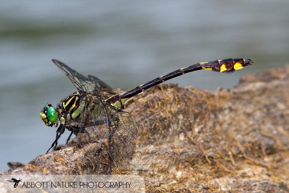 Gulf Coast Clubtail (Gomphurus modestus) - male<br /> LOUISIANA: Allen Parish<br /> Ouiska Chitto (or Whiskey Chitto) Creek<br /> upstream from LA 26 Bridge near Mittie<br /> 12-June-2011<br /> J.C. Abbott #2526