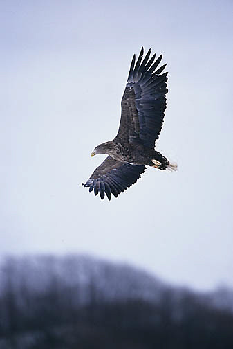 Steller's Sea Eagle, (Haliaeetus pelagicus) Japan.