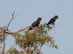 Three Red-tailed Black Cockatoos on Mandora Station south of Broome.