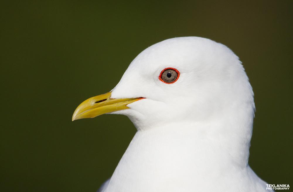 Portrait of a mew gull.