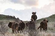 European Bison (Bison bonasus) herd walking in dune landscape of Kraansvlak