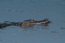 American Alligator (Alligator Mississippiensis), Blue Cypress Lake, Vero Beach, Florida, US
