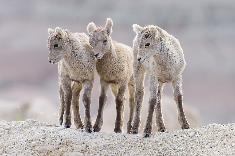 Bighorn sheep (Ovis canadensis) at Badlands National Park, South Dakota