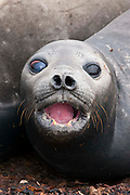 A female young southern elephant seal looks at the photographer with large eyes in the Falkland Islands