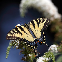 Tiger Swallowtail Butterfly, Papilio glaucas, feeding on white lilac flower. New Jersey, USA, North America.
