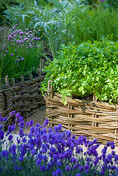 Coriander - Coriandrum sativum - growing in a woven willow raised bed. Other planting includes chives, artichoke, fennel and lavender
