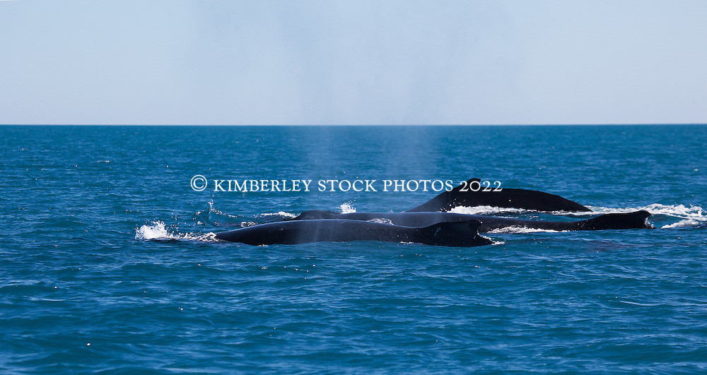 Three Humpback whale bulls on the charge near Willie Creek north of Broome.